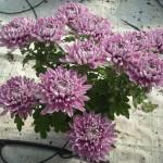 Crisântemo tradicional lilás