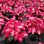 Poinsettias_Cores