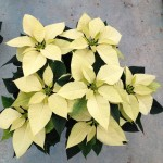 Poinsettias cores