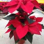 Poinsettias Vermelhas