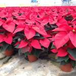 Poinsettia Vermelha