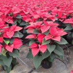 Poinsettia Vermelha - também conhecida como flor-do-natal ou estrela-de-natal