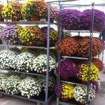Crisantemos variedades